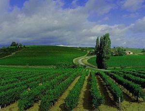 Vigne de Gaillac
